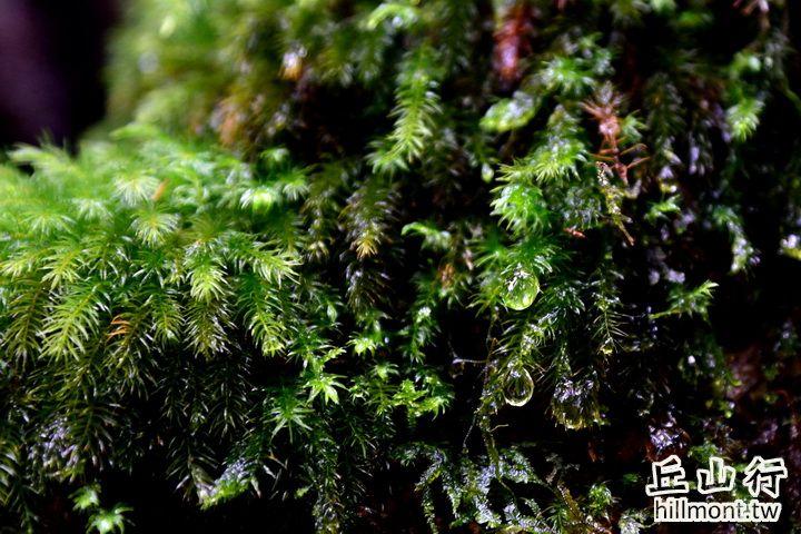 森林的淚珠