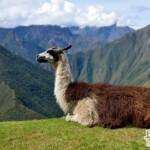 24. Inca Trail D3-Llama